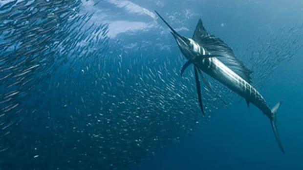 sailfish-580x308.jpg promo image