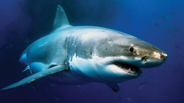 1-shark-prm