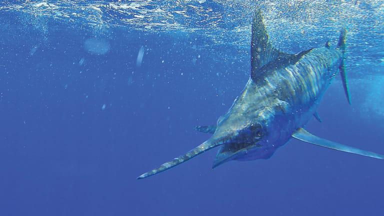 Billfishing the Abaco islands of the Bahamas