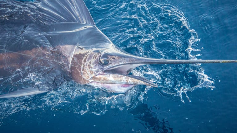 Billfish numbers have been on the rise.