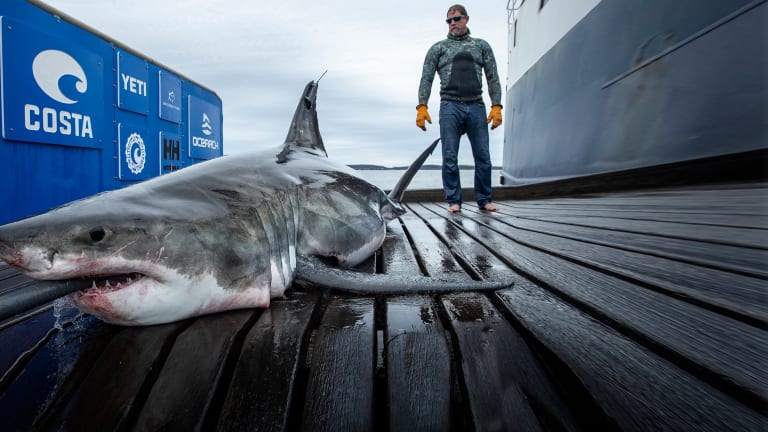 OCEARCH and the Great White Sharks