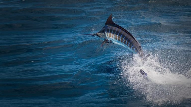 Outboard Boat Wins Big Rock Blue Marlin Tournament