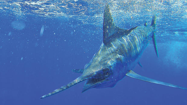 Clear water and a blue marlin makes for a colorful combination.