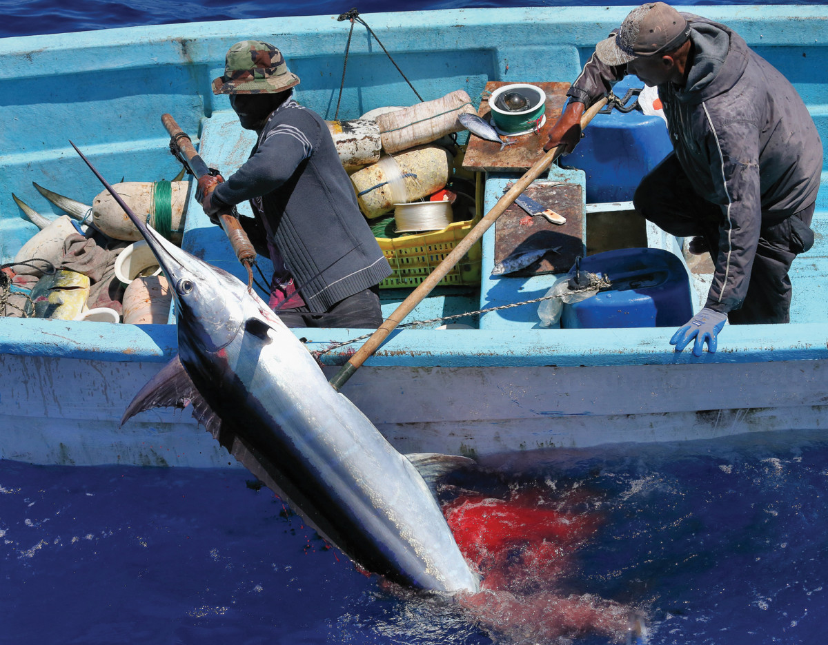 Locals killing a blue marlin