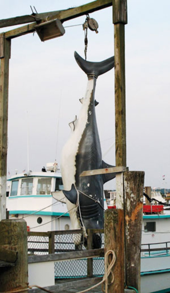 Montauk shark
