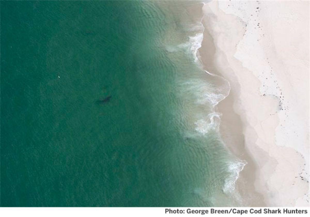 Shark photo by George Breen/Cape Cod Shark Hunters