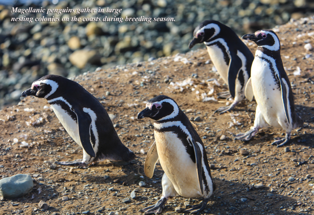 Magellanic penguins gather in large nesting colonies on the coasts during breeding season.