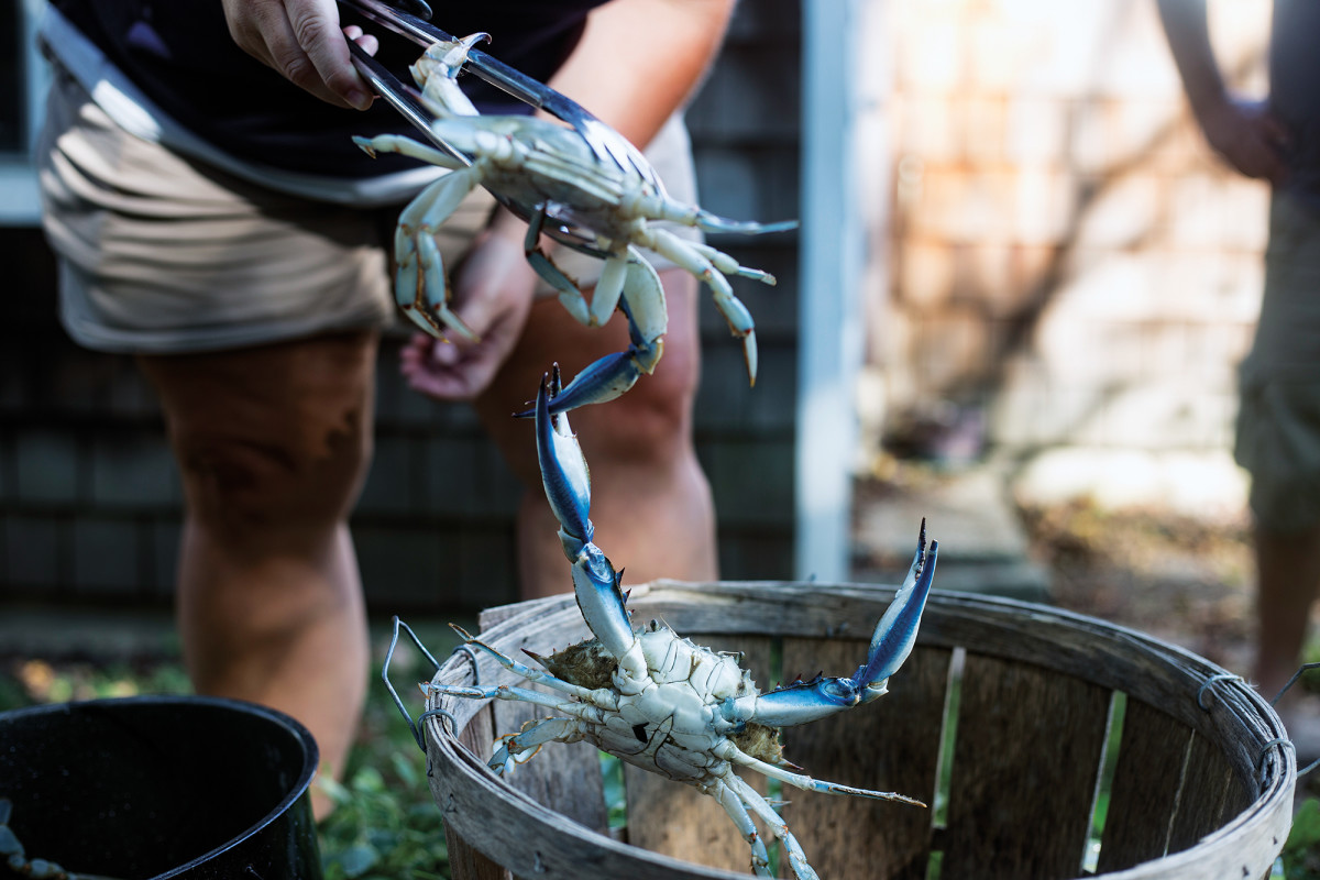 When handling blue crabs, it's best to use tongs, lest one of your hands get pinched by their formidable pincers.