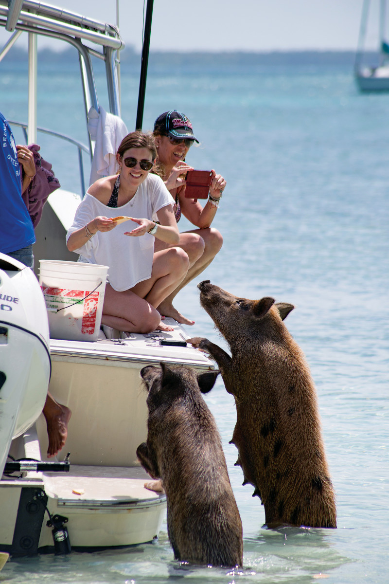 Charter boats frequent No Name Cay to feed the wild pigs. Sliced apples are their meal of choice.