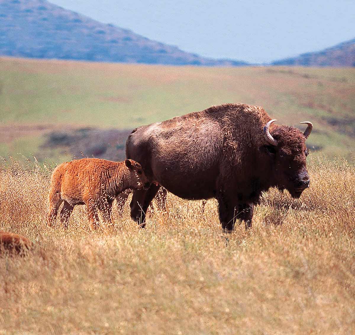 There are buffalo in yonder hills.