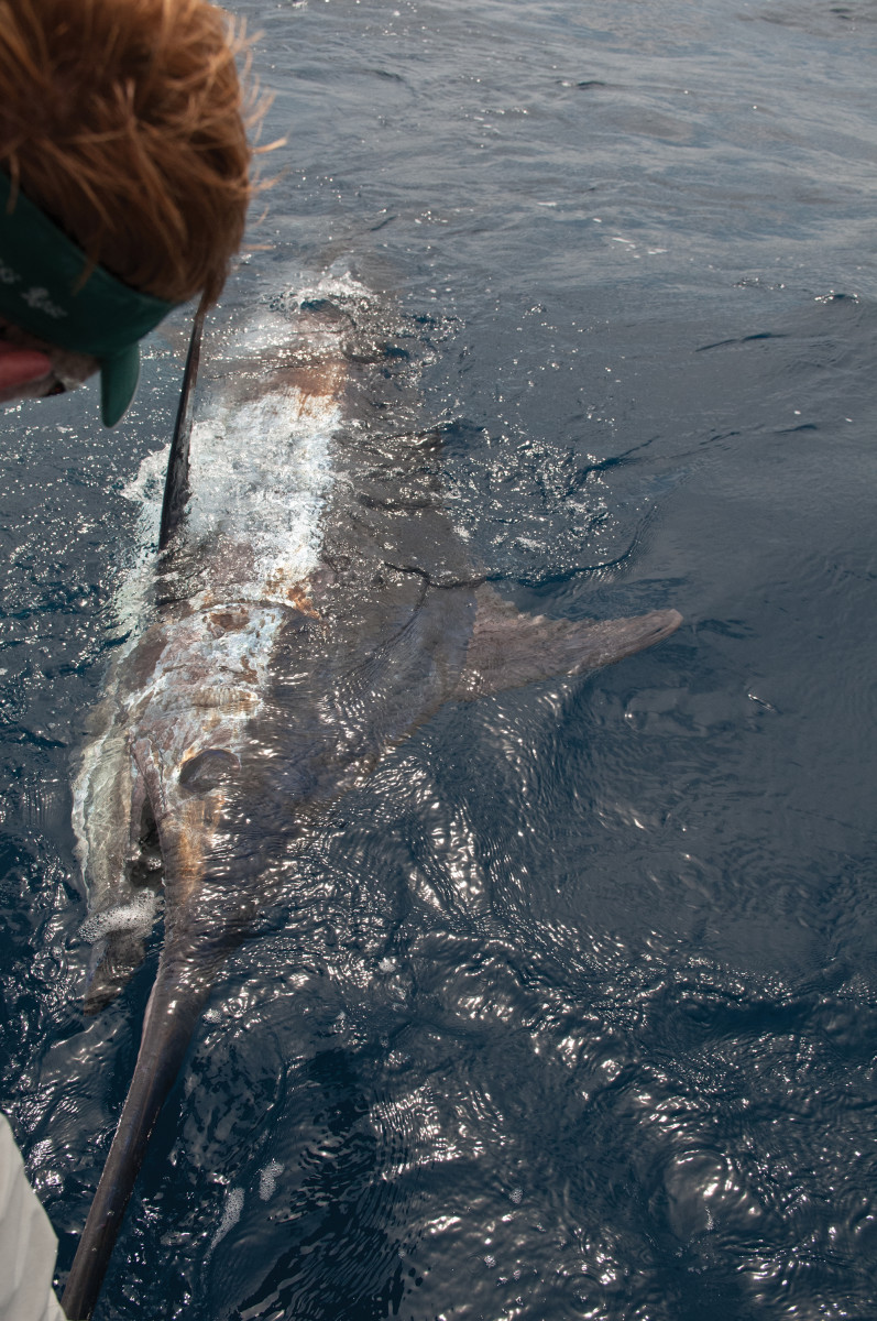 Blue marlin frequent the waters of the Canary Islands