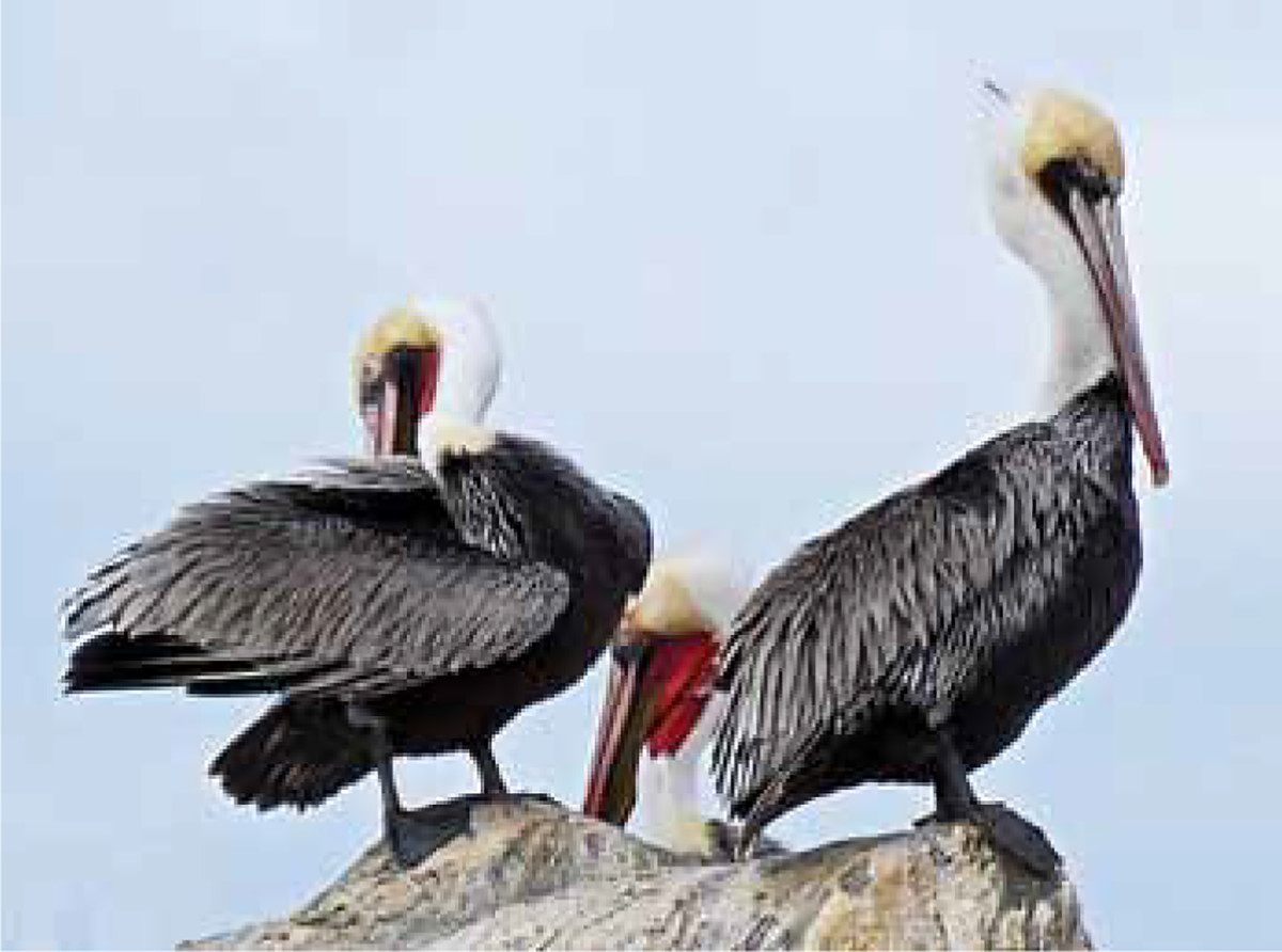 A California brown pelican searches for a meal